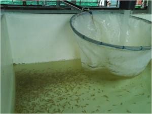 Mahseer juveniles (fry)