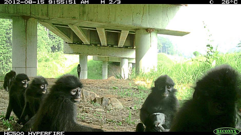 Banded leaf monkeys photographed under a viaduct – Gopalasamy Reuben Clements